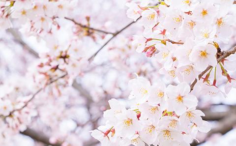 桜(ばら科)|観光・おでかけ|...